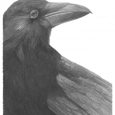 Un peu d'oiseau dans cette série d'animaux : le corbeau, sombre et intelligent. Illustration de Damien Pons