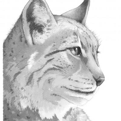 Pour les amoureux de la forêt et du sauvage, lynx dessiné par Damien Pons illustrateur à Strasbourg