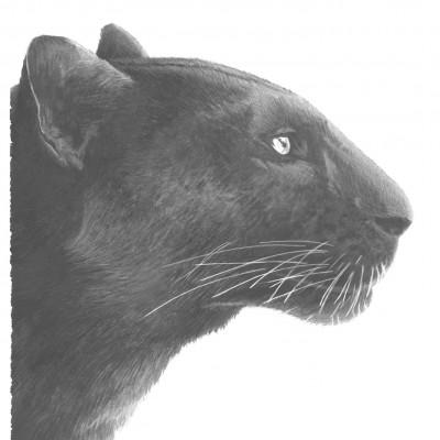 Tête de panthère de profil dessiné par l'illustrateur Damien Pons