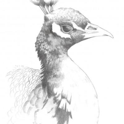 Portrait de paon dessiné par Damien Pons illustrateur à Strasbourg